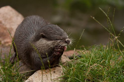 Oriental Small-clawed Otter eating