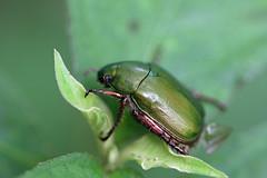 金沢自然公園のアオドウガネ(Beetle, Kanazawa Nature Park)