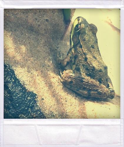 Shalda Creek frog