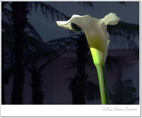 Como una flor este día by Julio César Correa