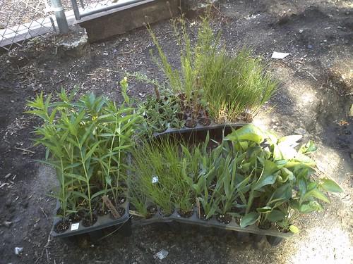 Rain Garden Plants!