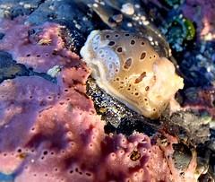 leopard nudibranch