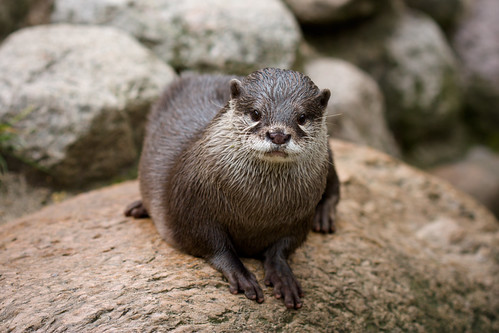 Oriental Small-clawed Otter watching