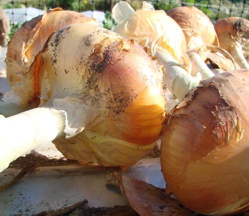 OnionHarvest