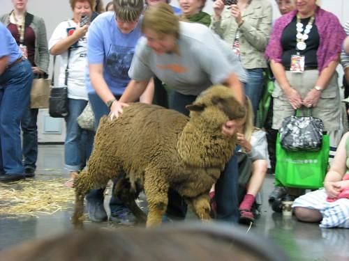 Sheep Walking