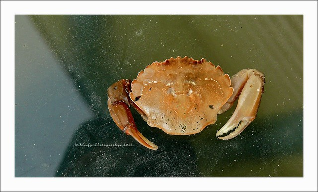 #217/365 Big Ones: Crab