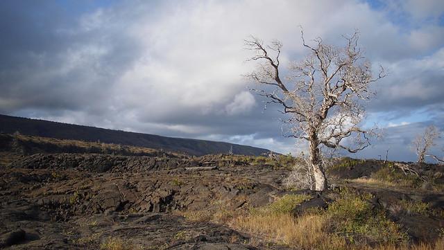Scrappy Tree in Lava Field