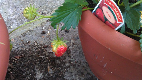 Strawberry 'Fragaria x ananassa Elsanta'