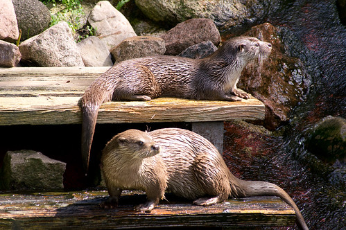 two wet river otters basking in the sun on wooden benches. There are rocks and boulders in the background, wet and dry.