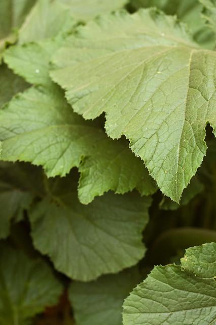 Squash Leaves