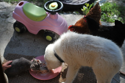 chook, cat, pup