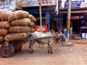 Poor oxen -- out of focus and overburdened
