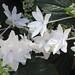 Hydrangea macrophylla 'Fuji Waterfall'