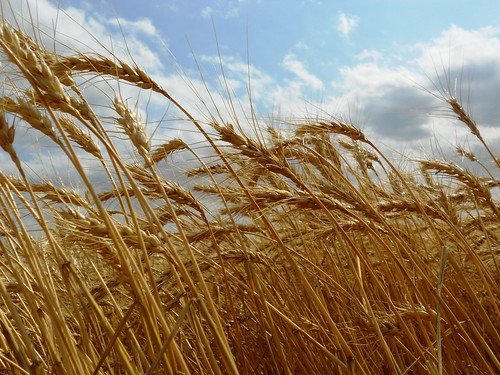 Hoxie wheat