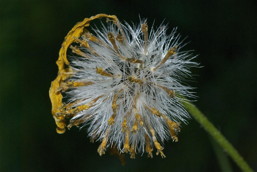 Arnica seed head