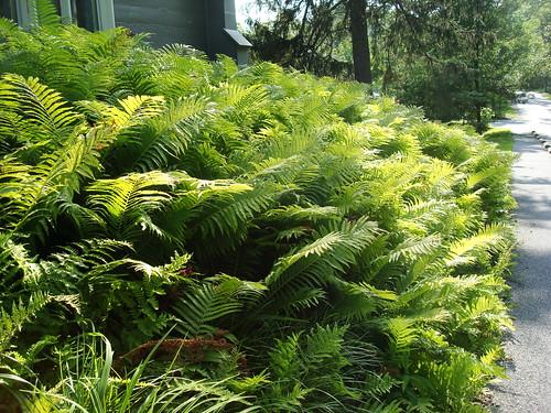 Bardy ferns