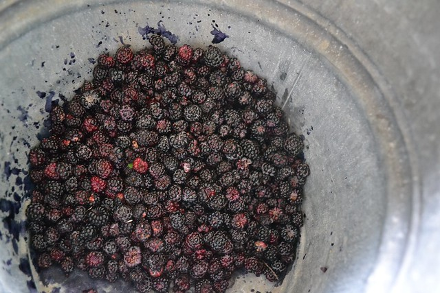 This morning's blackberries
