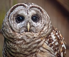 Barred Owl by lezzie5 on Flickr