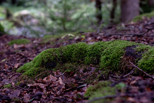 Moss of a fairy tail