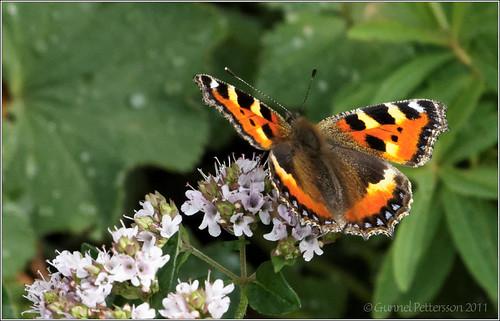110723 butterfly Nässelfjäril