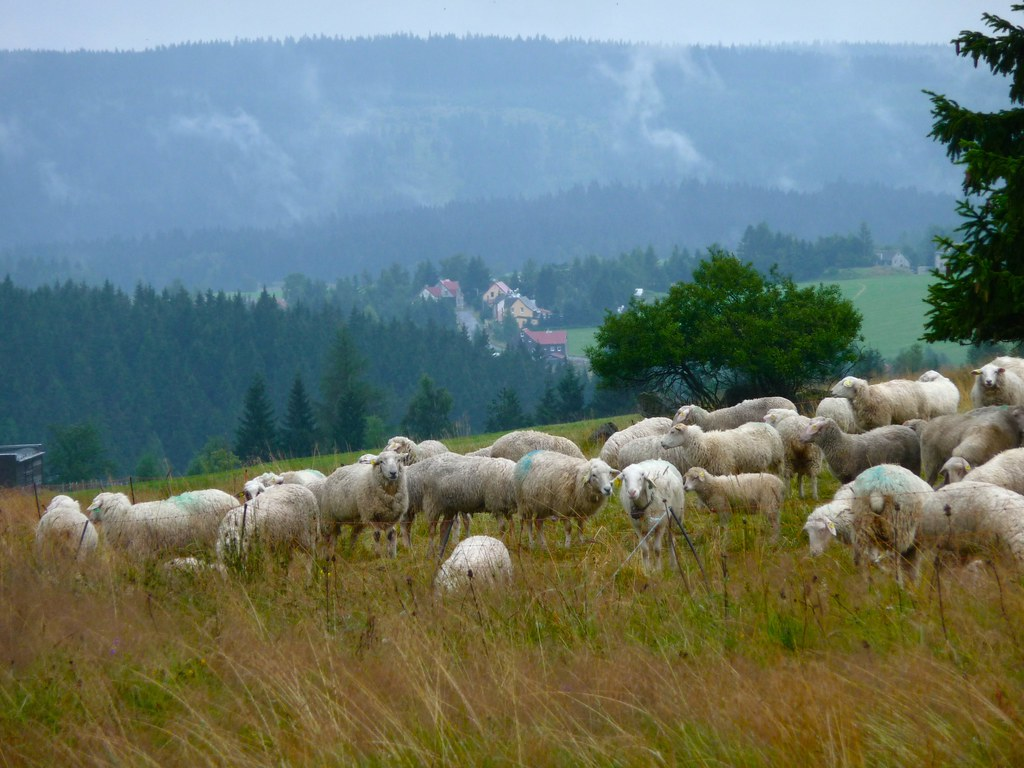 Sheep in CZ