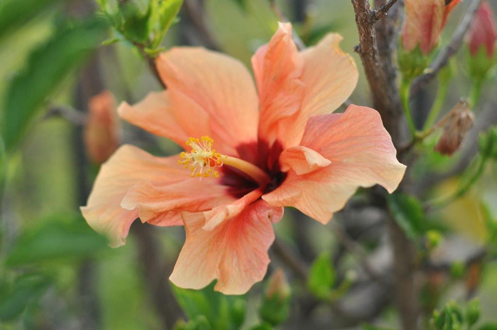 peach hibiscus
