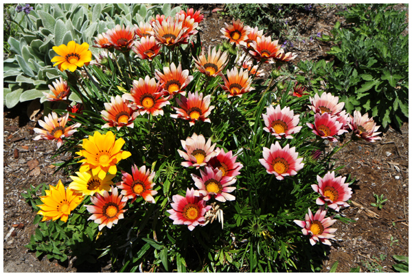 Drought tolerant low maintenance flowers the creative salad for No maintenance flowering shrubs