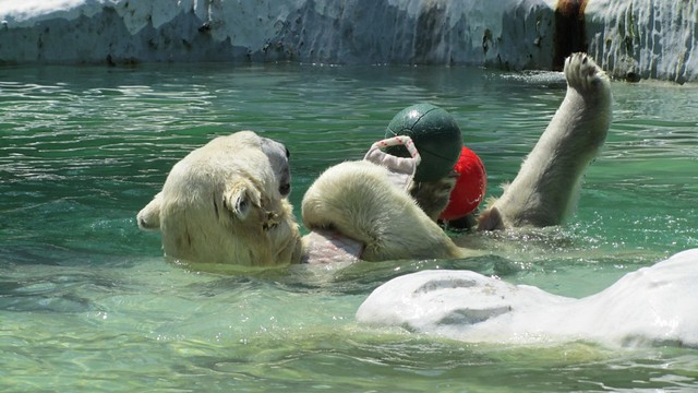 Polar Bear playing.