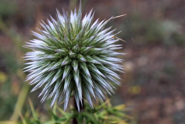 Fleur inhabituelle, Santorin