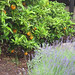Mixed plantings of herbs and citrus @ Sunset Magazine Trial Gardens