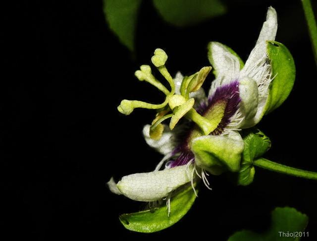 Hoa chanh dây