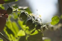 Cherry tomaten 30-09