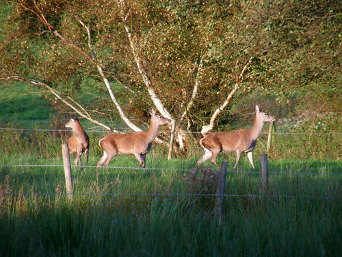 Three red deer hinds