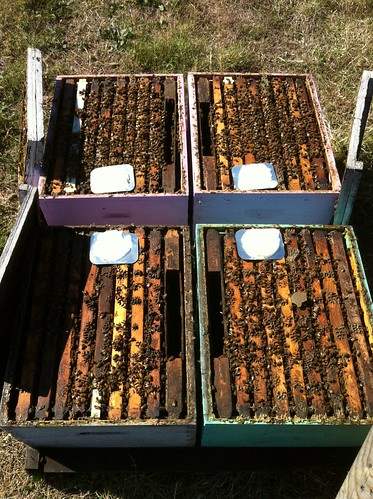 Apiguard treatment on new hives