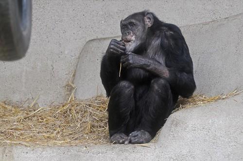 Schimpanse Lola im Parc zoologique de Champrepus