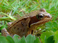 "Trap Grounds frog (Alan Allport) • <a style=""font-size:0.8em;"" href=""http://www.flickr.com/photos/60890513@N06/6884454432/"" target=""_blank"">View on Flickr</a>"