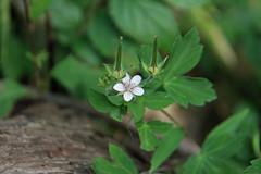 三保市民の森のゲンノショウコ(Flower, Miho Community Woods)