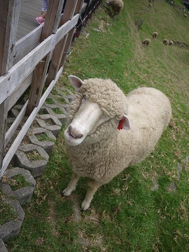 這是一隻愛叫的綿羊