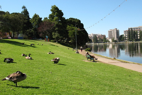 Geese on the lawn by Lake Merrit