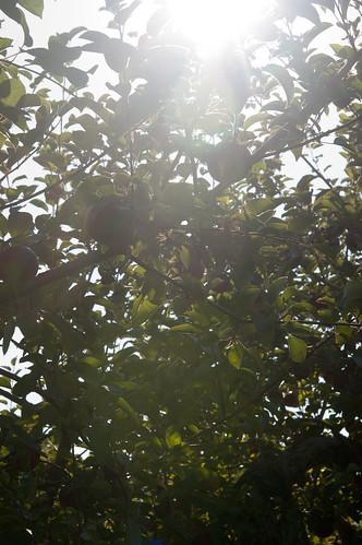 apples, in their natural habitat