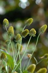 coneflowers  lacking petals