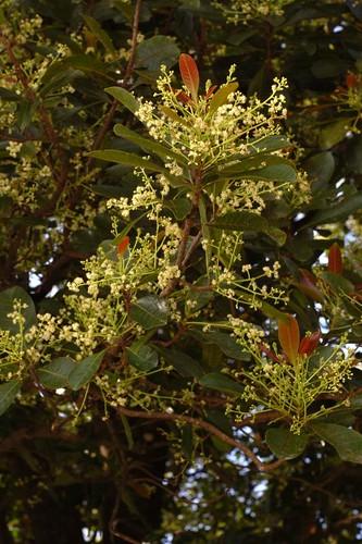Buchannania arborescens