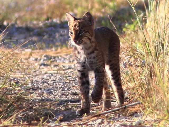 Bobcat smaller cub 5-20111103