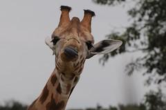 Kordofan-Giraffe im Parc zoologique de Champrepus