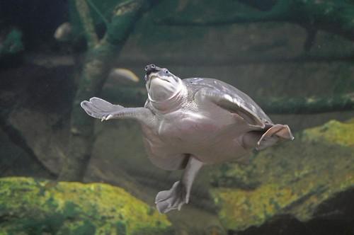 Papua-Weichschildkröte im Tierpark CERZA bei Lisieux in der Normandie