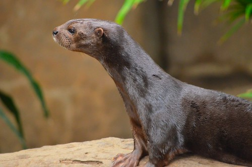 very sleek-looking chocolate brown otter propping itself up on a sandy-coloured rock