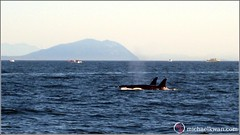 Whale Watching in Steveston (8 of 9)