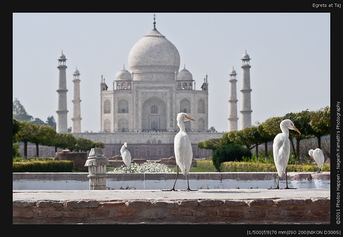 Egrets at Taj