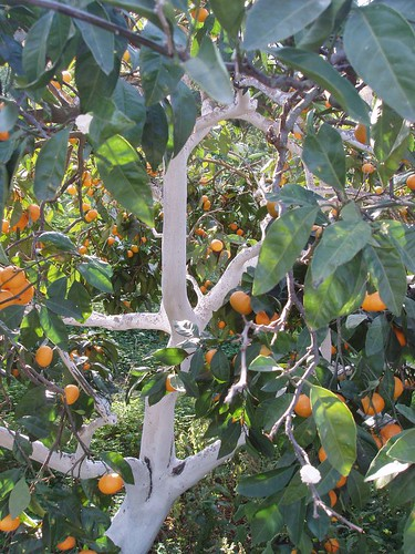 201111120082_citrus-orchard
