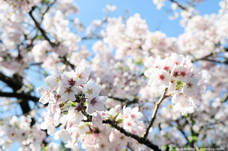 阿里山櫻花季82